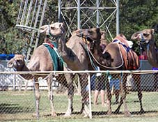 forbes camel races