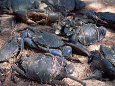 mud crabs cooktown endeavour river